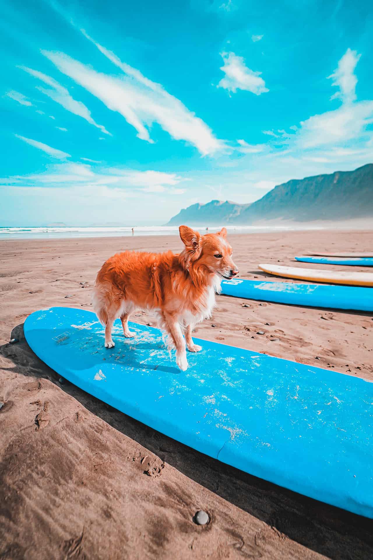 Perro en una tabla de surf Famara